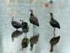 Ibis Flock Preening